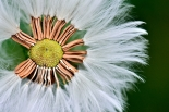 Hemisected dandelion