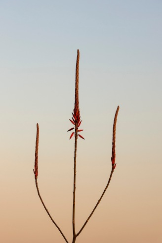 Aloe in the evening light